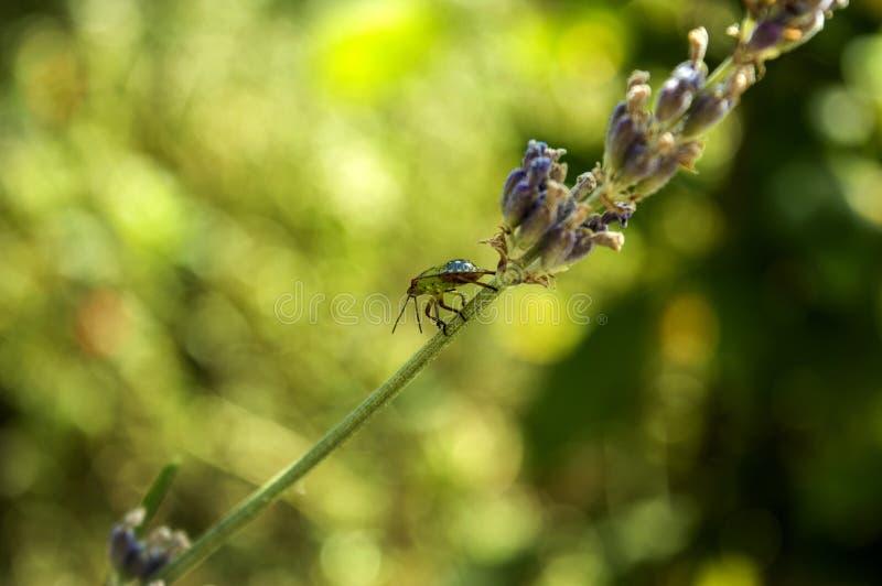 Escarabajo verde foto de archivo libre de regalías