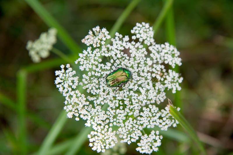 Escarabajo verde brillante foto de archivo