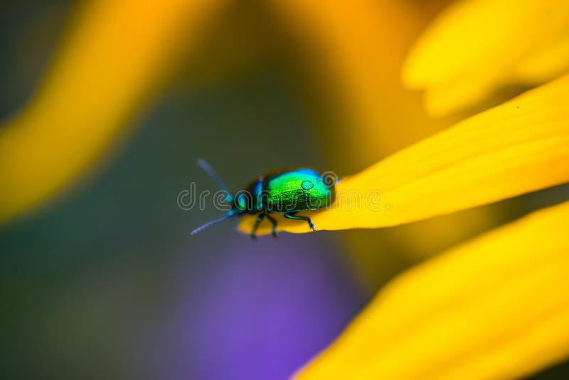 Escarabajo verde del muelle en un pétalo de la flor fotografía de archivo