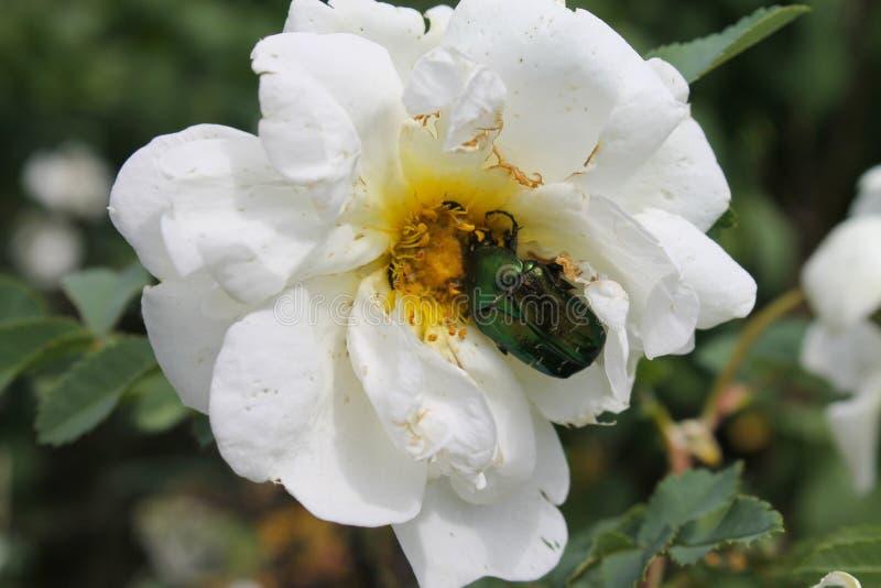 Escarabajo verde en el cierre color de rosa blanco de la flor para arriba como tarjeta del fondo o de felicitación fotos de archivo