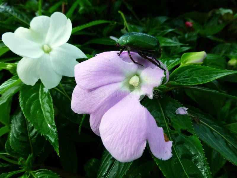 Escarabajo verde en la flor fotos de archivo libres de regalías
