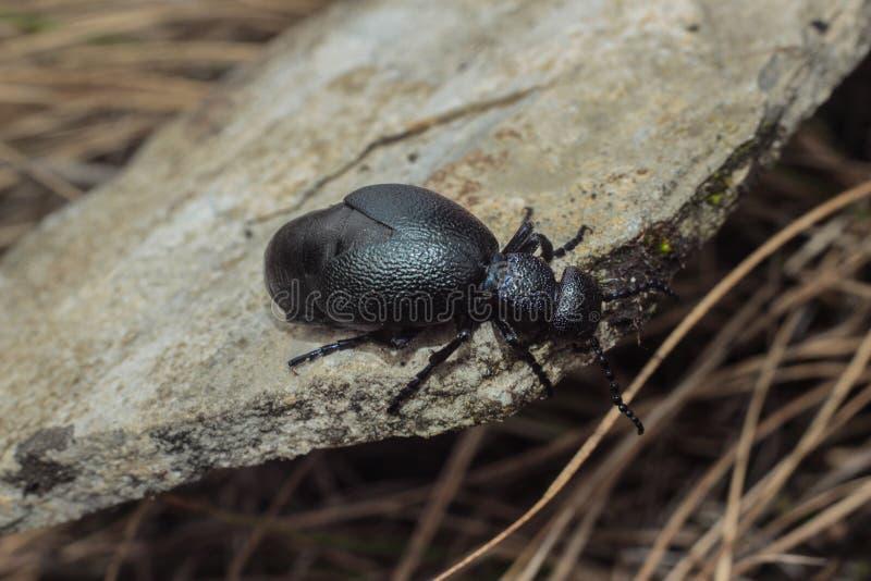 Escarabajo - violaceus de Meloe, República Checa fotos de archivo libres de regalías