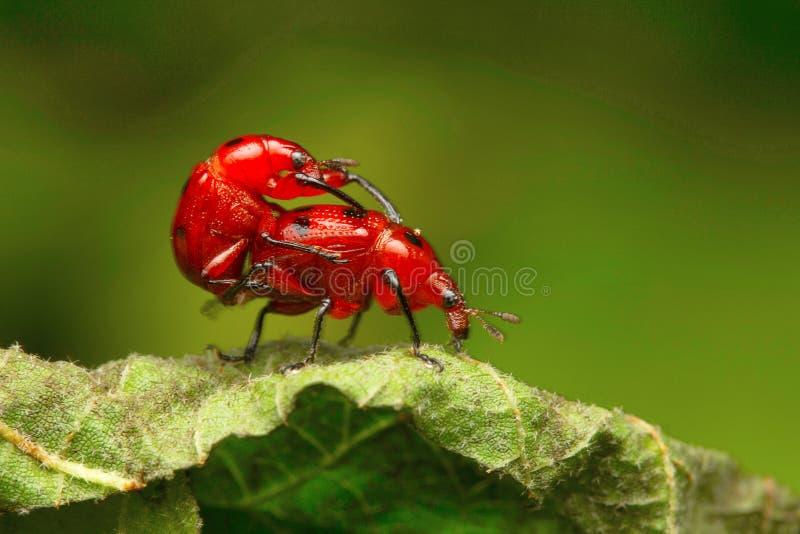 Escarabajos acoplamiento, no identificado, colonia de la leche de Aarey, la INDIA imagen de archivo