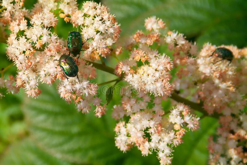 Escarabajos Cetonia aurata sentado en una flor imagenes de archivo
