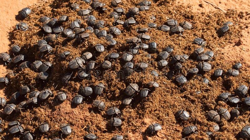 Escarabajos de estiércol en estiércol del rinoceronte foto de archivo