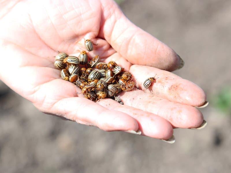 Escarabajos de la patata en la mano foto de archivo