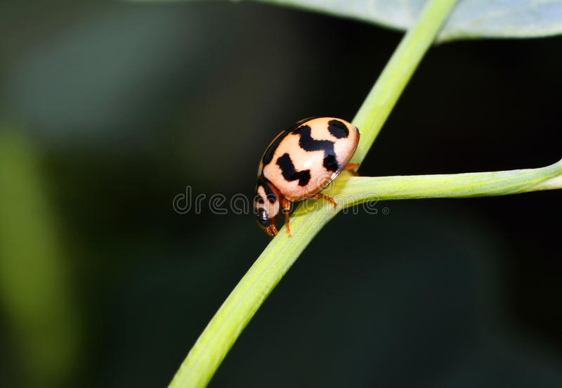 Escarabajos de mariquita fotos de archivo libres de regalías