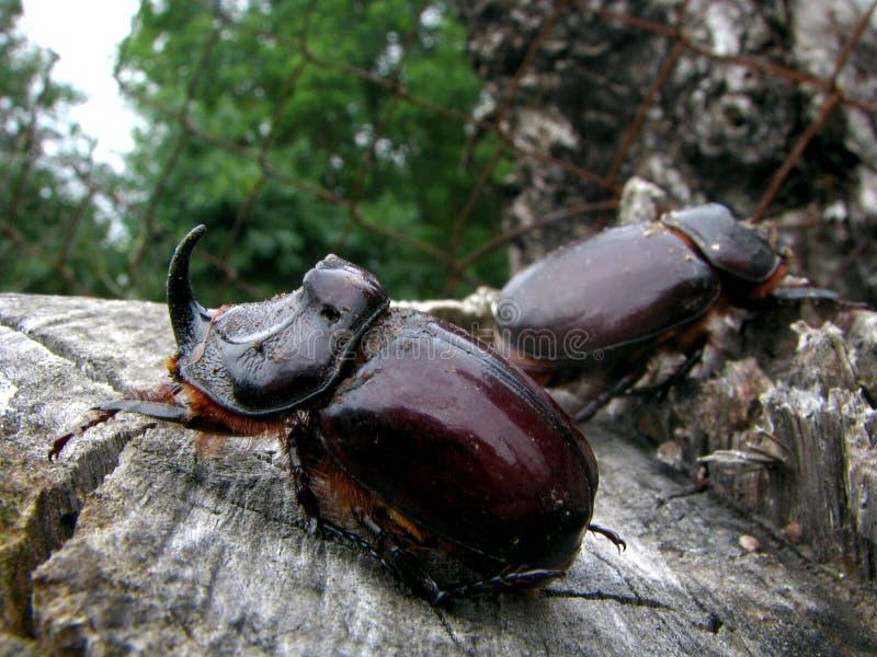 Escarabajos del unicornio fotografía de archivo