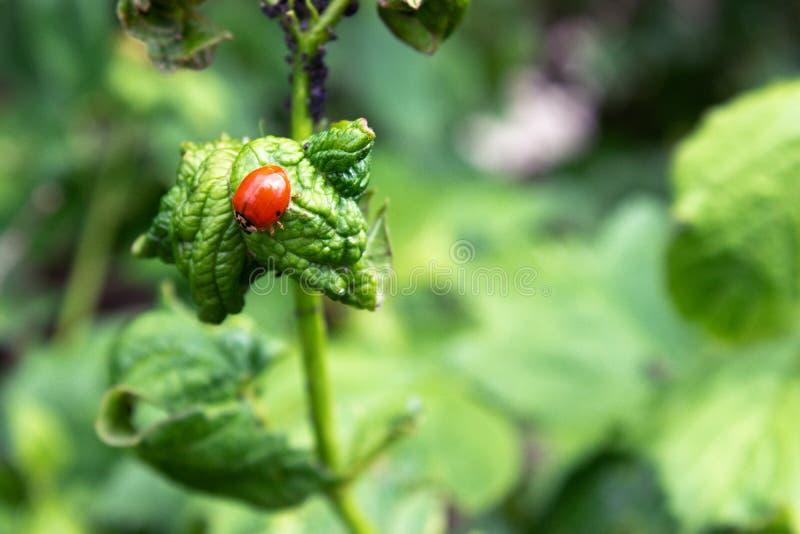 Escarabajos, par?sitos en ramas verdes Una rama del viburnum con las hojas y escarabajos que comen las hojas fotos de archivo