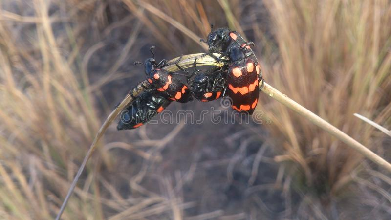 Escarabajos rojos fotografía de archivo libre de regalías