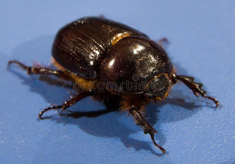 Escaravelho fotos de stock