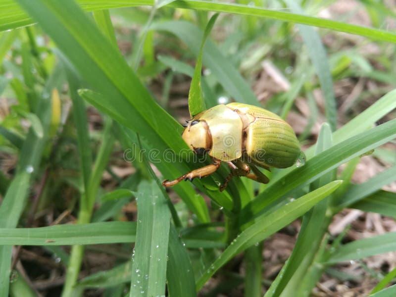Escaravelho no grass-1 fotografia de stock royalty free