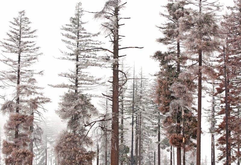 Escarcha del invierno en árboles de pino foto de archivo