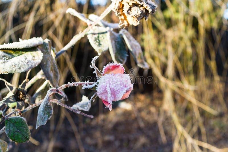 Escarcha en una flor de la rosa en la madrugada en un camino frío imagen de archivo