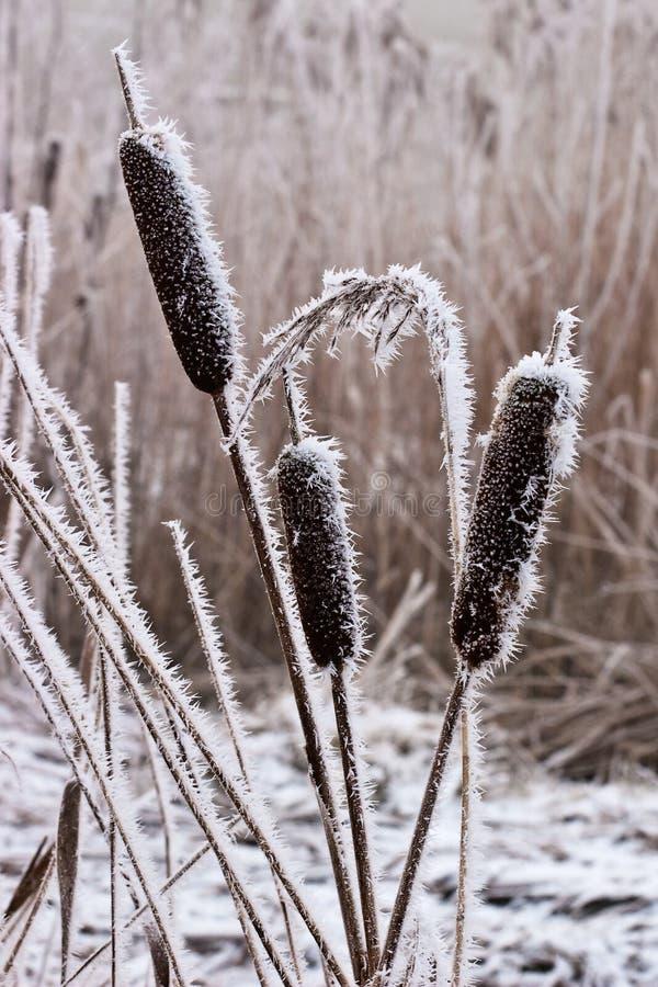 Escarcha o escarcha suave en las plantas en un día de invierno fotografía de archivo libre de regalías