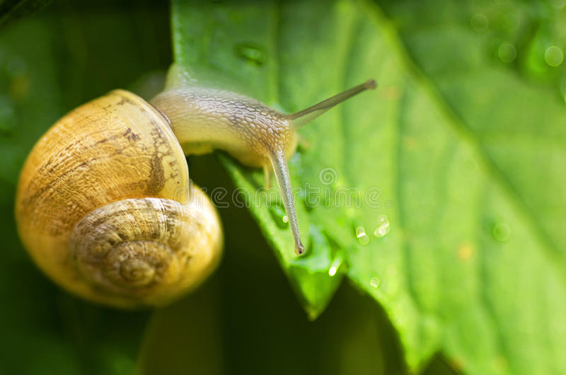 Escargot images libres de droits