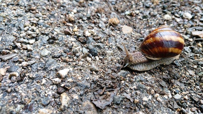Escargot adulte sur une route de campagne photographie stock
