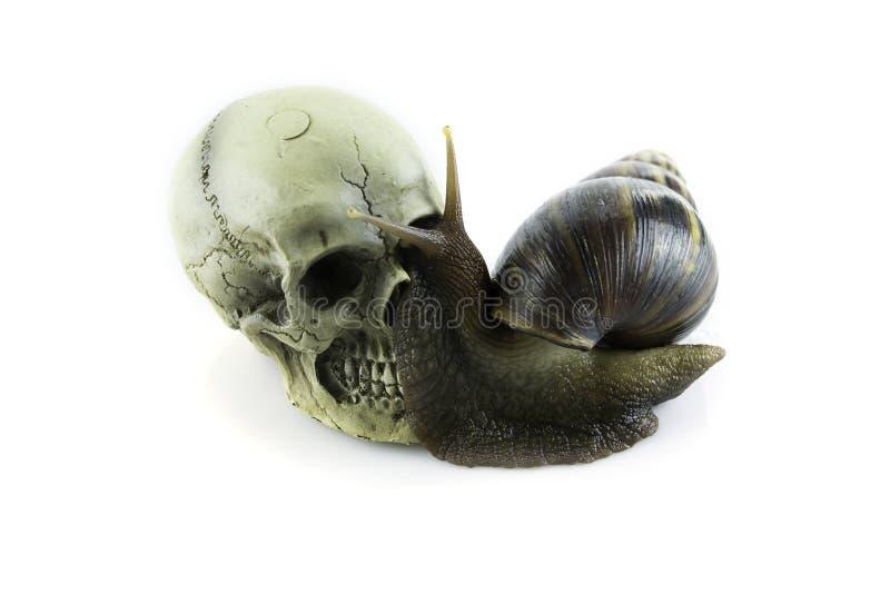 Escargot africain avec le crâne sur le fond blanc images libres de droits