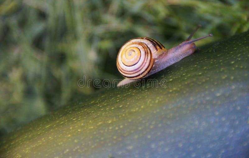 Escargot avec la coquille photographie stock