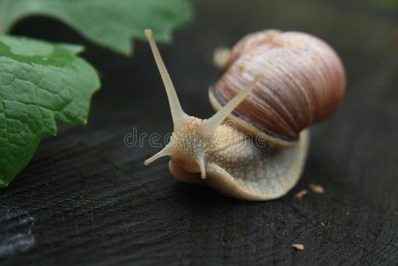 Escargot avec le fond foncé photos stock