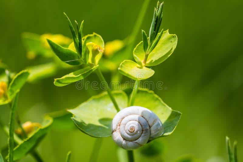 Escargot blanc se reposant sur l'herbe verte avec le fond mou image libre de droits