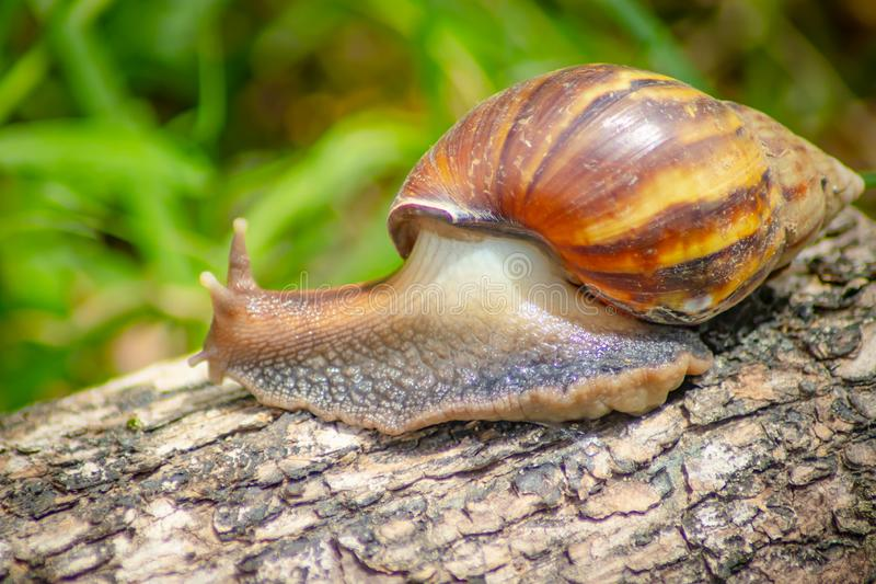 Escargot curieux rampant sur le béton helice Roman Snail - Image images libres de droits