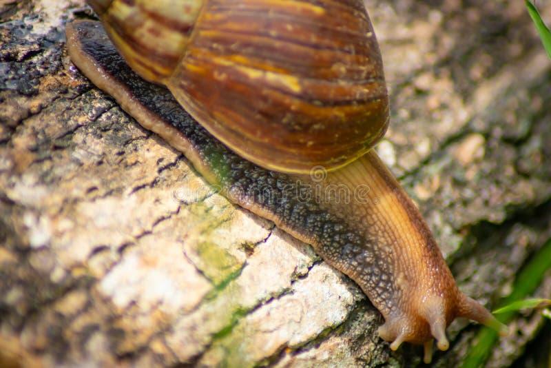 Escargot curieux rampant sur le béton helice Roman Snail - Image photographie stock libre de droits