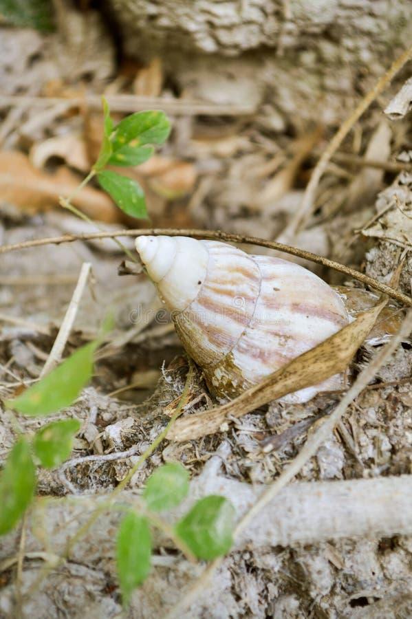 Escargot d'étang sur le plancher de sol images stock