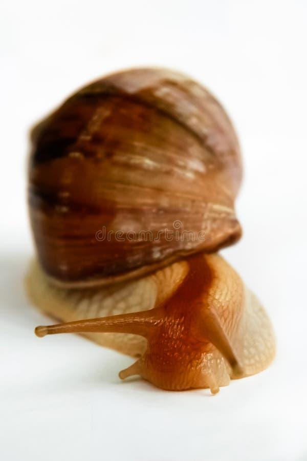 Escargot d'Achatina sur un fond blanc photographie stock libre de droits