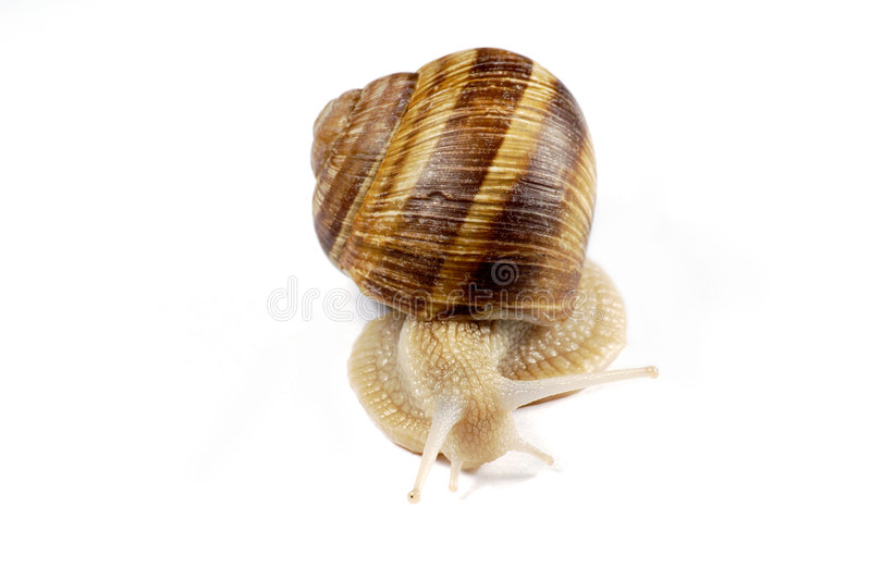 Download Escargot d'isolement photo stock. Image du rampement, animal - 80718