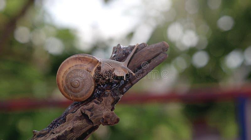Escargot dans le dessus du bois photo libre de droits