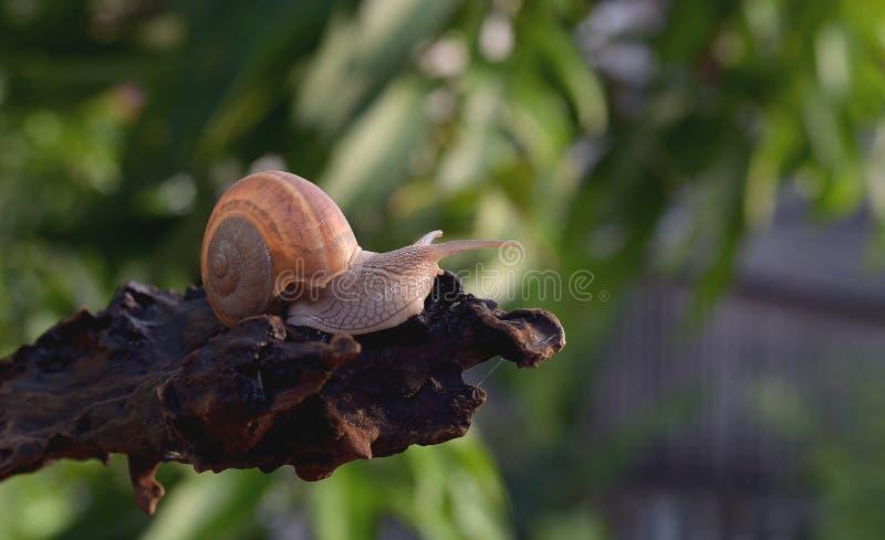 Escargot dans le dessus du bois image libre de droits