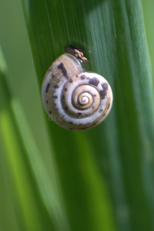 Escargot dans le macro photos libres de droits