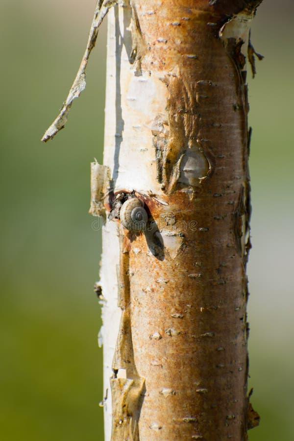 Escargot de  de Ð se reposant sur un arbre images libres de droits