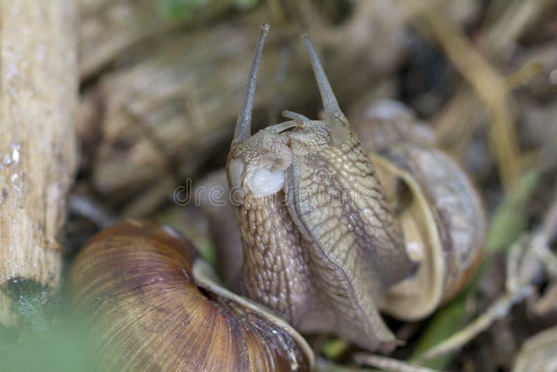 Escargot de Bourgogne, escargot romain, escargot comestible ou escargot photographie stock