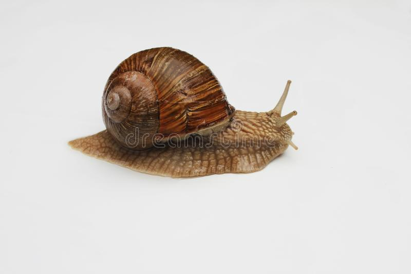 Escargot de Bourgogne, Roman Snail Caracol no cl branco do fundo fotos de stock