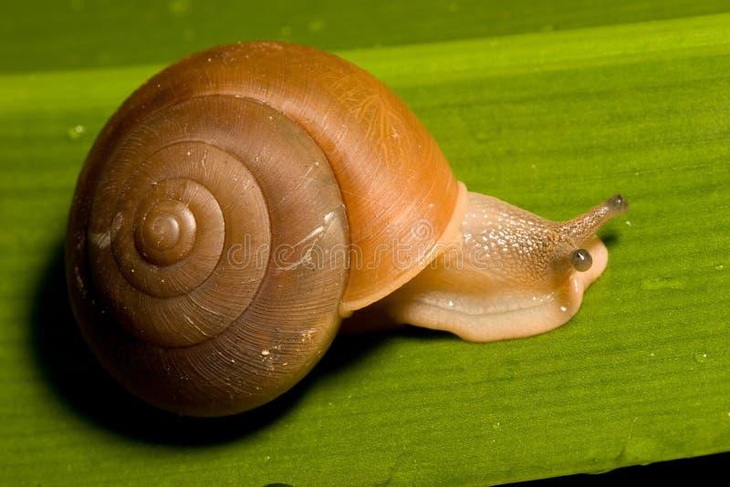 Escargot De Brown Image libre de droits