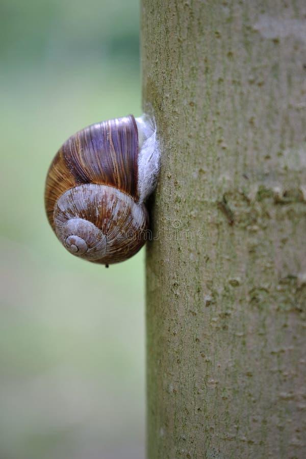 Escargot de côté d'arbre image stock
