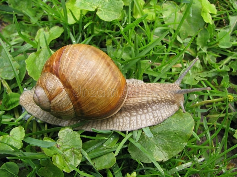 Escargot de chenille. images libres de droits