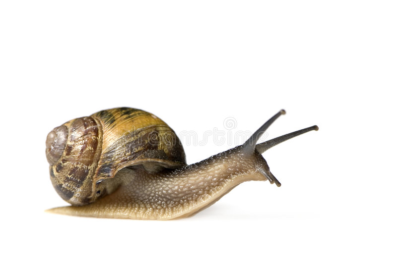 Escargot de jardin photo stock