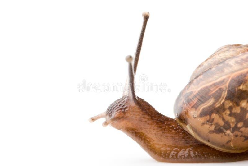 Escargot de jardin image libre de droits