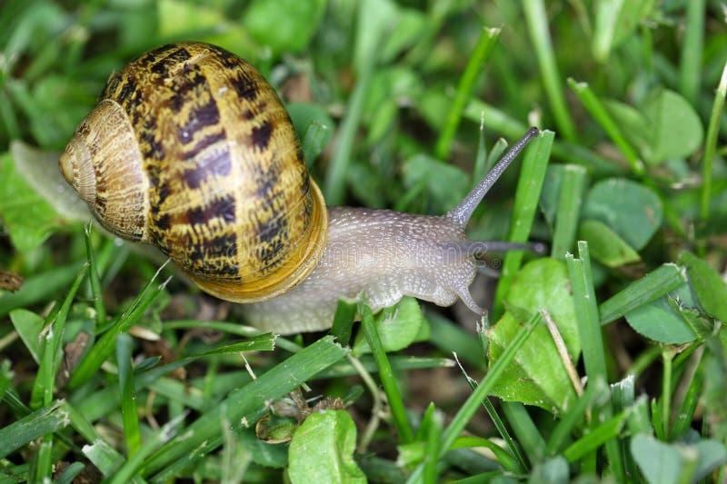 Escargot de jardin (aspersum de Cornu) photos libres de droits