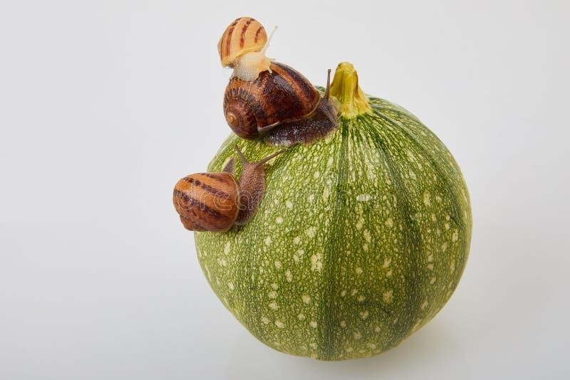Escargot de jardin rampant sur une courgette verte sur un fond blanc photographie stock