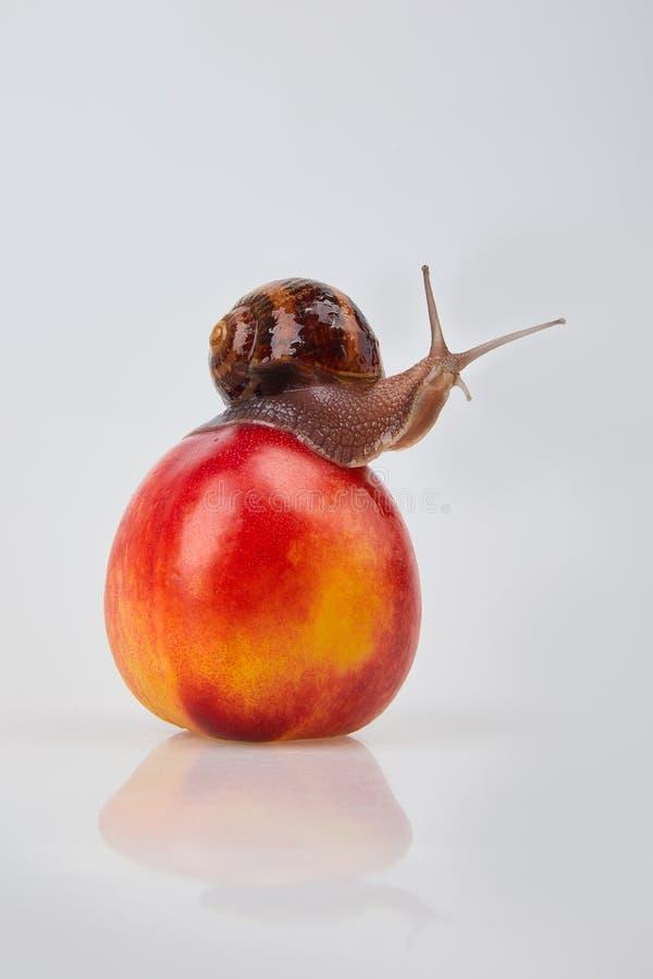 Escargot de jardin rampant sur une nectarine rouge sur un fond blanc photo stock