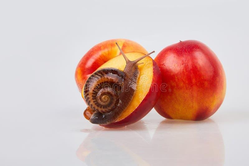 Escargot de jardin rampant sur une nectarine rouge sur un fond blanc images stock