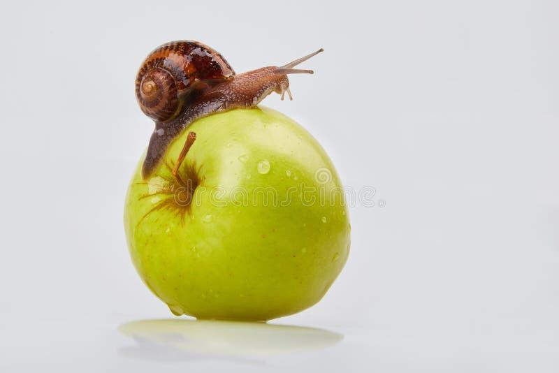 Escargot de jardin rampant sur une pomme sur un fond blanc image stock
