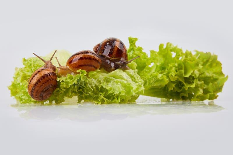 Escargot de jardin sur des feuilles de laitue sur un fond blanc Projectile de studio photographie stock
