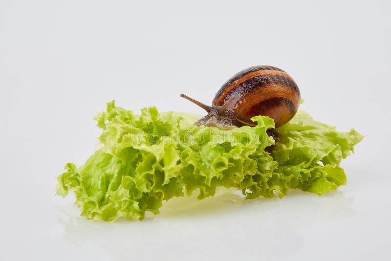 Escargot de jardin sur des feuilles de laitue sur un fond blanc Projectile de studio photo stock
