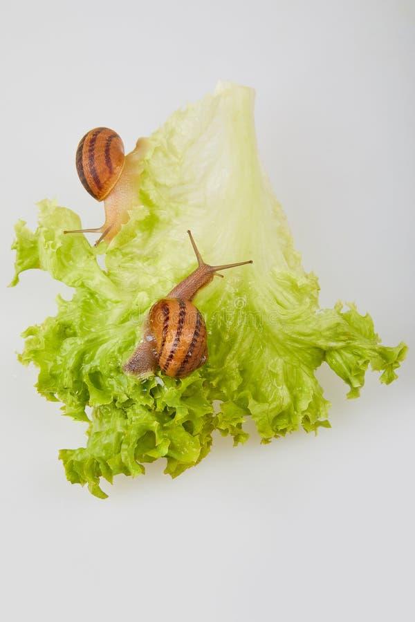 Escargot de jardin sur des feuilles de laitue sur un fond blanc Projectile de studio images stock