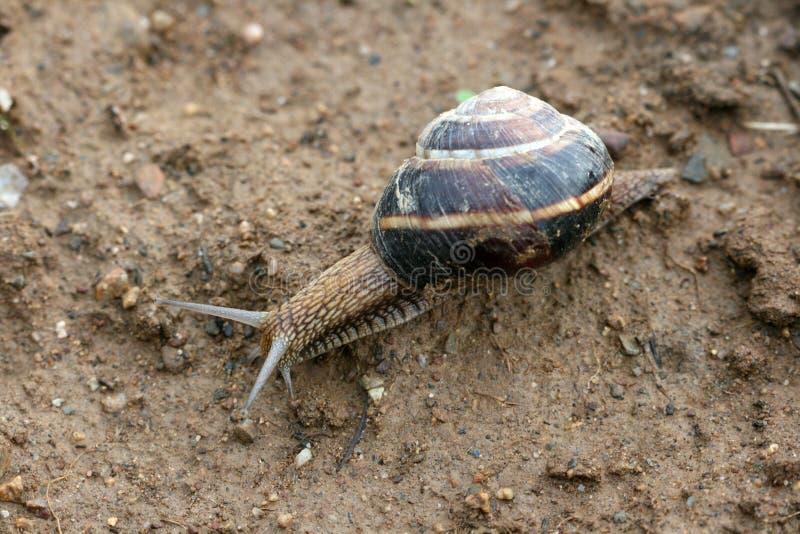 Escargot de jardin sur un sol images libres de droits
